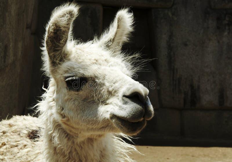 Peruviaanse lama stock afbeelding