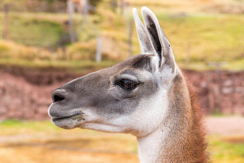 Peruviaanse Lama. Landbouwbedrijf van lama, alpaca, Vicuna in Peru, Zuid-Amerika. Andesdier. royalty-vrije stock foto