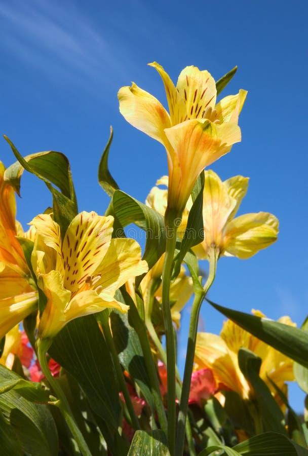 Peruviaanse Lilly royalty-vrije stock afbeelding