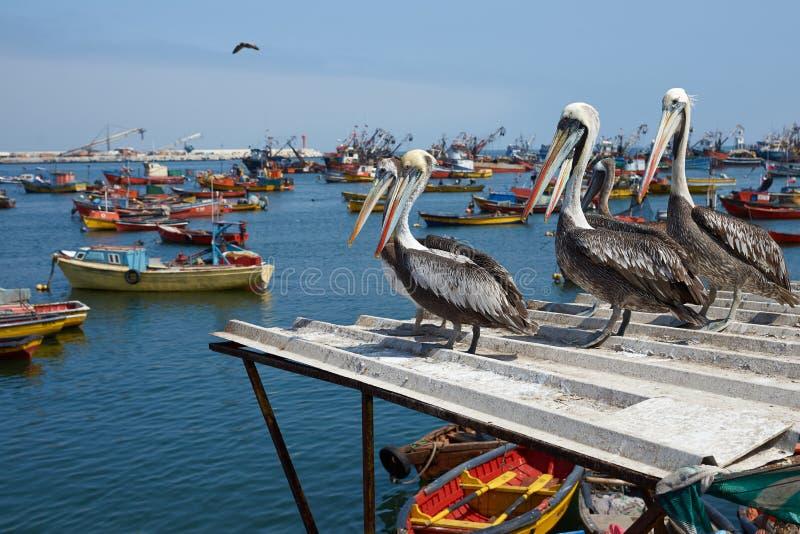 Peruviaanse Pelikanen in Arica royalty-vrije stock afbeelding