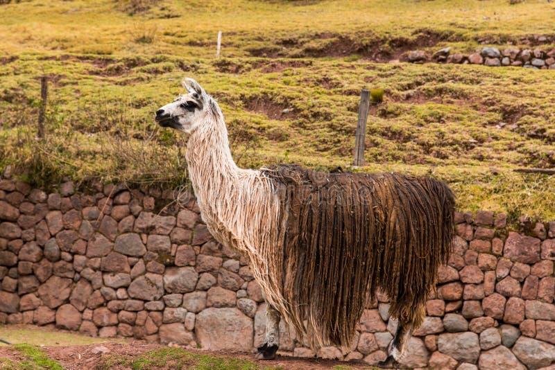 Peruviaanse vicuna. Landbouwbedrijf van lama, alpaca, Vicuna in Peru, Zuid-Amerika. Andesdier. stock fotografie