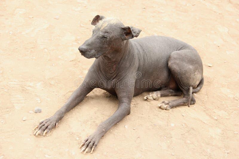 peruvian собаки безволосые стоковое фото rf
