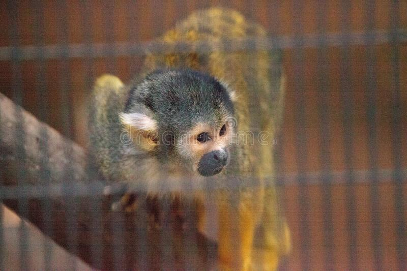 Peruvian black-capped squirrel monkey Saimiri boliviensis peruviensis royalty free stock photography