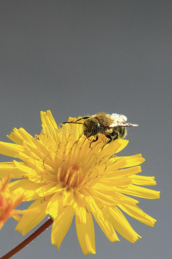 Bee on yellow daisy. Vertical format and gray neutral background stock photo