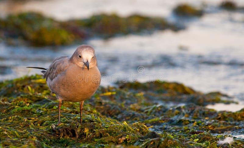 Peruvian Grey Gull On Seaweed Royalty Free Stock Photography