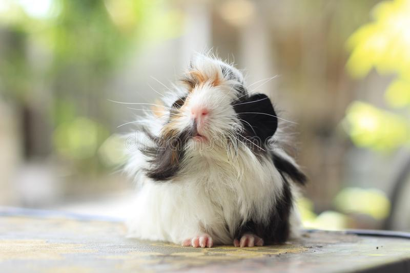 Peruvian Guinea Pig royalty free stock photography