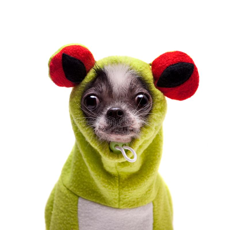 Peruvian hairless and chihuahua mix dog in frog costume stock photo