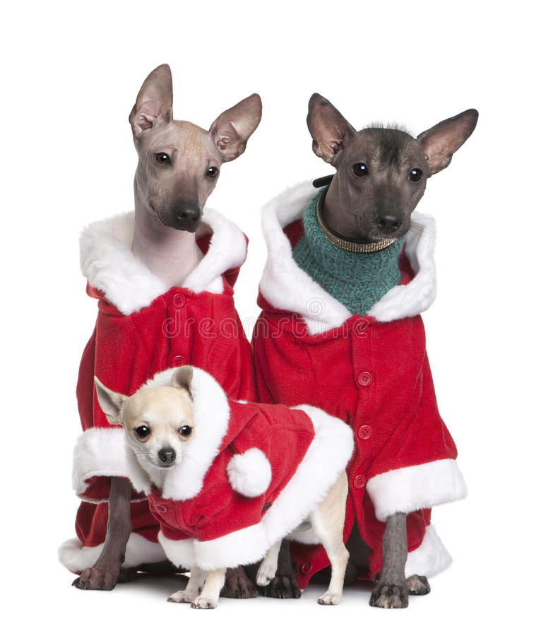 Peruvian Hairless Dogs and a puppy Chihuahua royalty free stock image