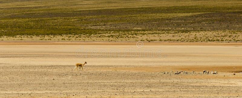 Alpaca animal, Peruvian Wool, wildlife, Peru royalty free stock photo