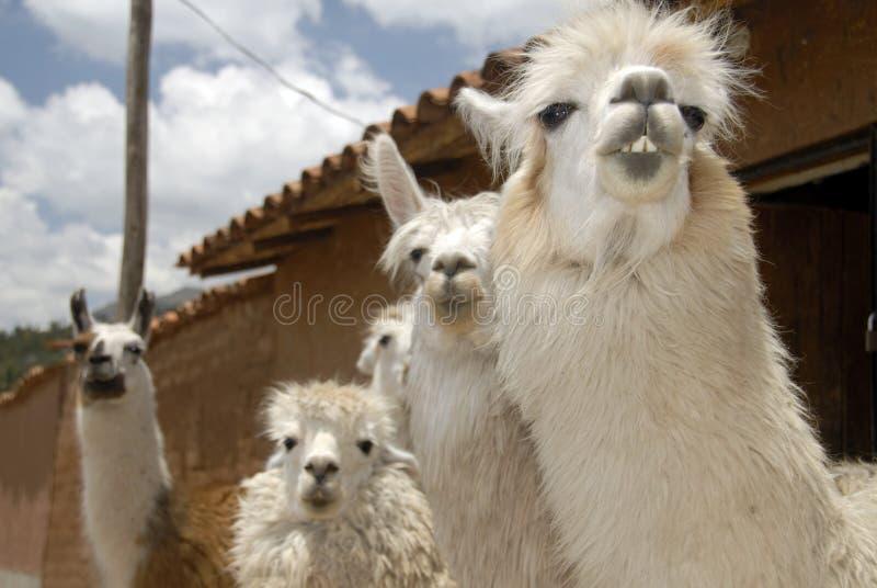 Peruvian Llamas. Close up Shot of a Herd of Peruvian Llama stock photo