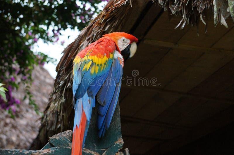 Peruvian Macaw. A beautiful Macaw sitting in the jungle in Peru near Puerto Maldonado stock photography