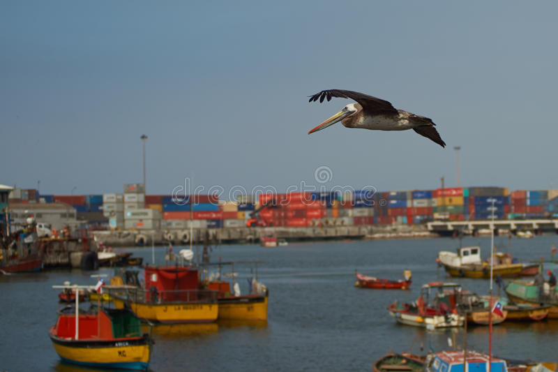 Peruvian Pelican in Flight royalty free stock photo