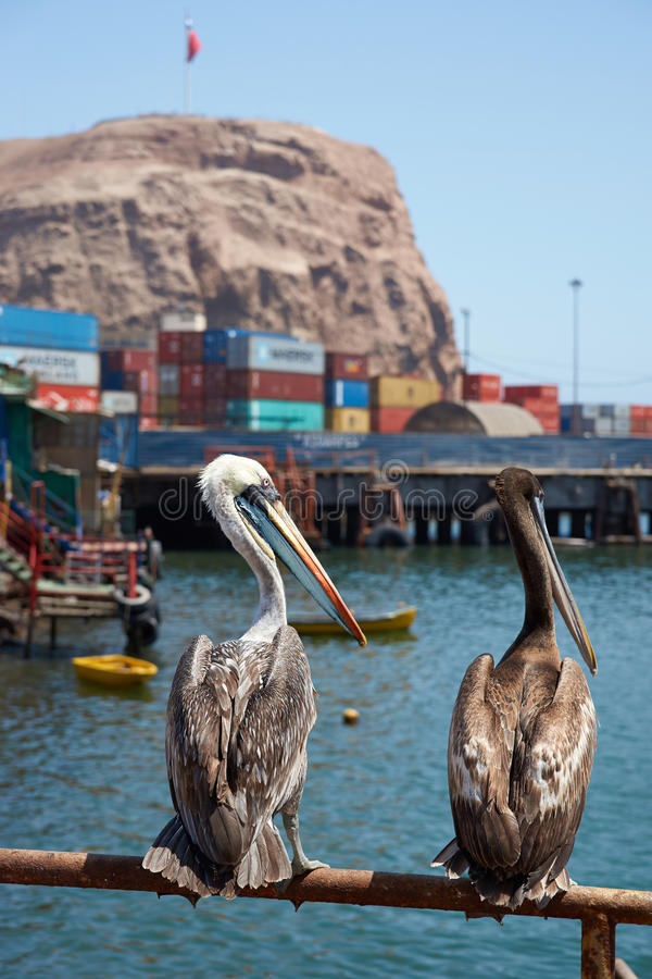 Peruvian Pelicans in Arica stock photography