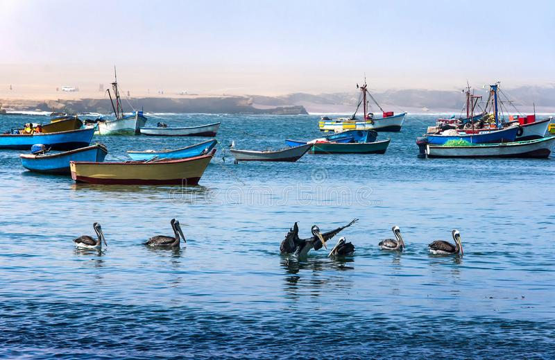 Peruvian pelicans bathing in the waters of the Pacific ocean in Paracas national Park, Peru stock photography