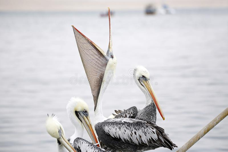Peruvian Pelicans stock photography