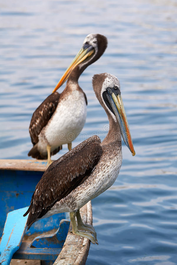 Peruvian pelicans royalty free stock photo