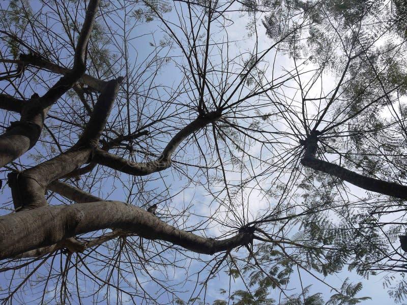Peruvian Tree royalty free stock photo