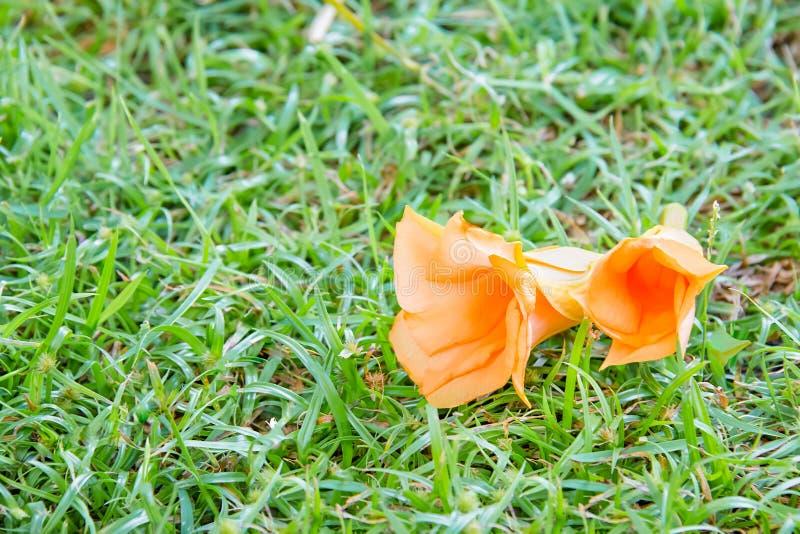 Peruviana Thevetia или олеандр апельсина на sward стоковые фотографии rf