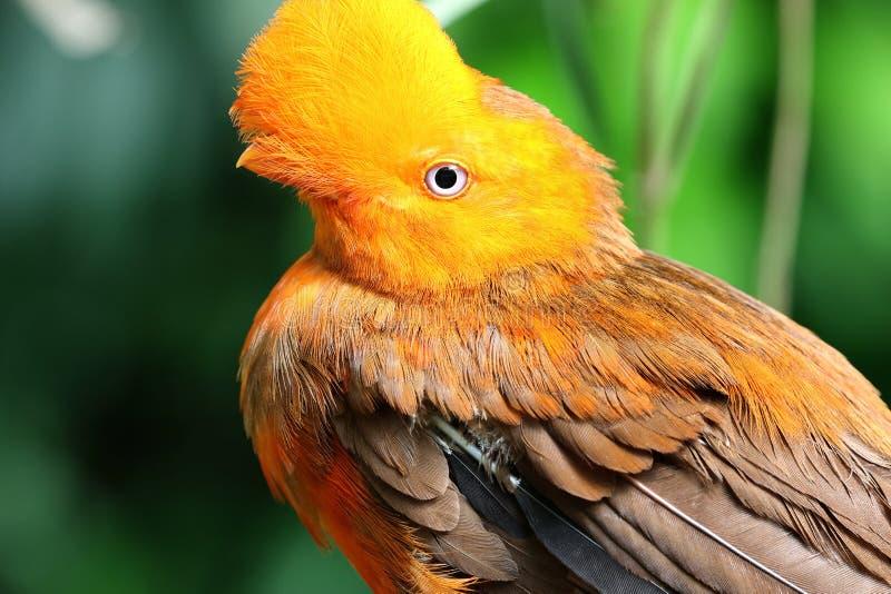 Peruvianus andino del rupicola del Rupicola dell'uccello della gallo-de--roccia fotografia stock