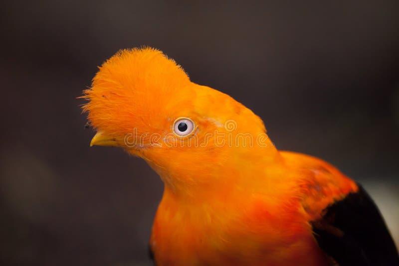 Peruvianus andino del Rupicola della gallo-de--roccia fotografie stock