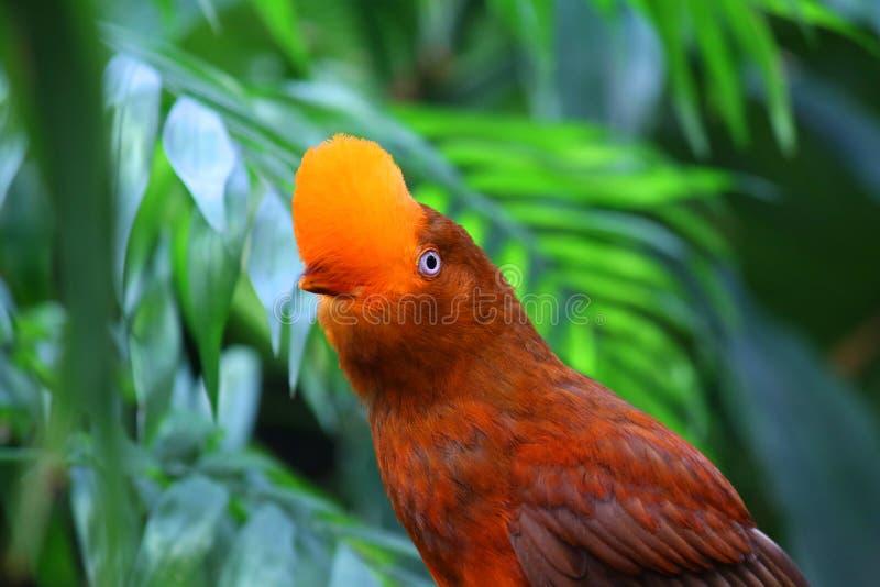Peruvianus andino do rupicola do Rupicola do pássaro da galo---rocha foto de stock