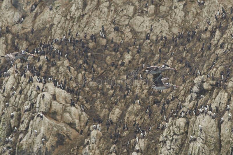 Peruwiańscy pelikany w Północnym Chile zdjęcia stock