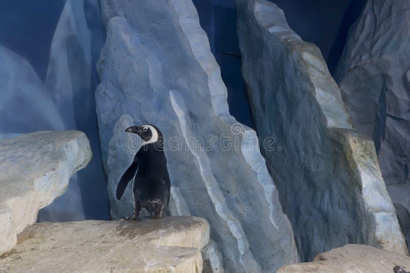 Peruwiański pingwin obrazy stock