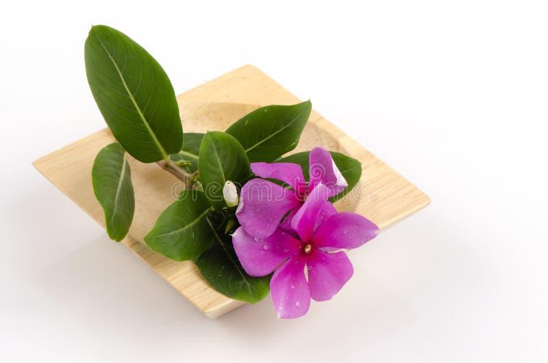 Download Pervinca De Madagascar; Vinca; Pervinca (roseus Do Catharanthus (L.) G. Don) Imagem de Stock - Imagem de arranjo, cabeça: 29836917