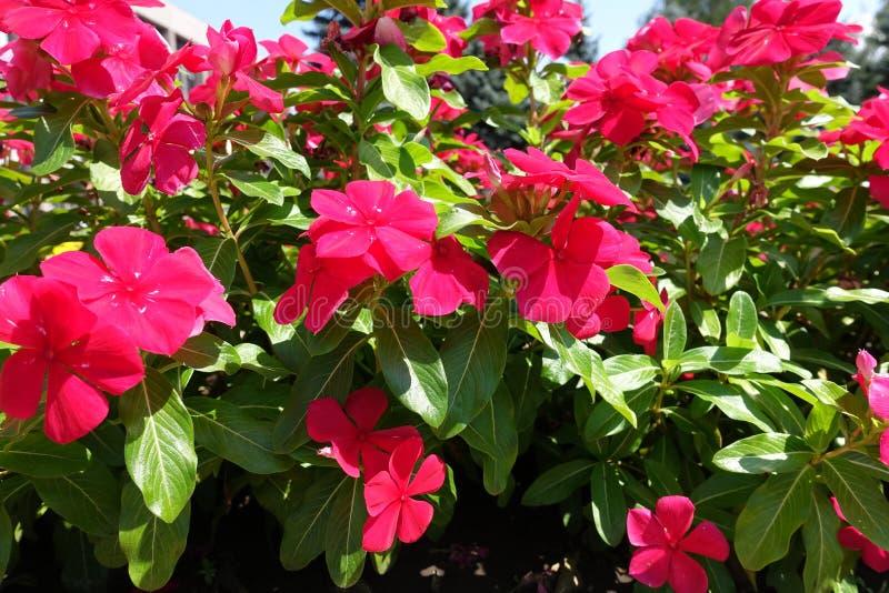 Pervinca de Rosa com flores vermelhas fotos de stock