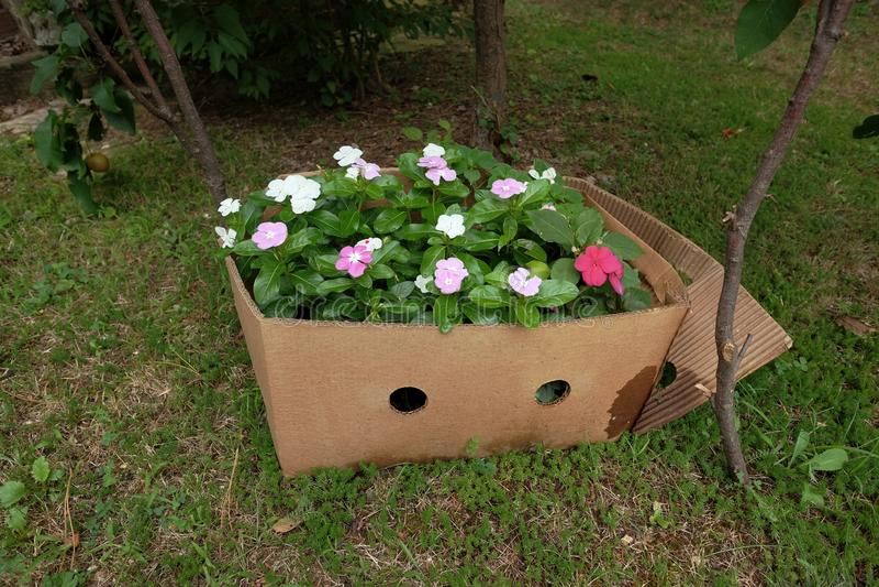 Pervinca Flowering, Serbia. Pervinca flowering in carton box, Serbia stock image