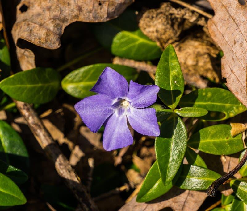 Perwinkle vildblomma- eller lavendelblått arkivfoton