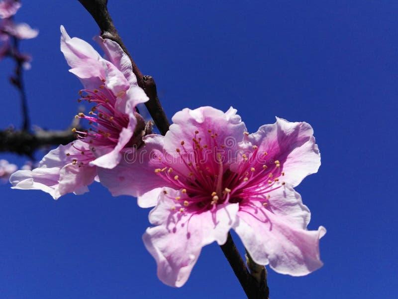 Perzik blossomï ¼ Œ seductively charmingï ¼ Œ enkel als mooi meisje stock afbeeldingen