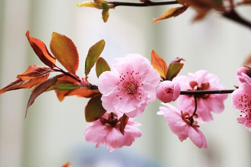 Perzik open tot bloei komen stock afbeelding