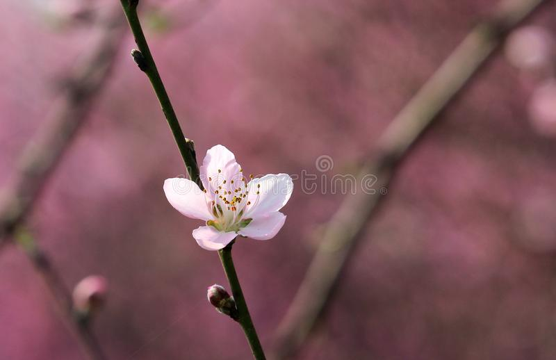 Perzikbloesem die in de lente bloeien royalty-vrije stock afbeeldingen