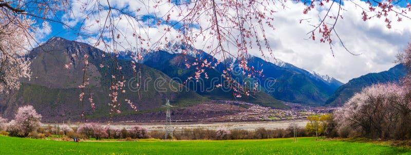 Perzikbloesem en het gebied van de hooglandgerst in tibetan Dorp stock fotografie