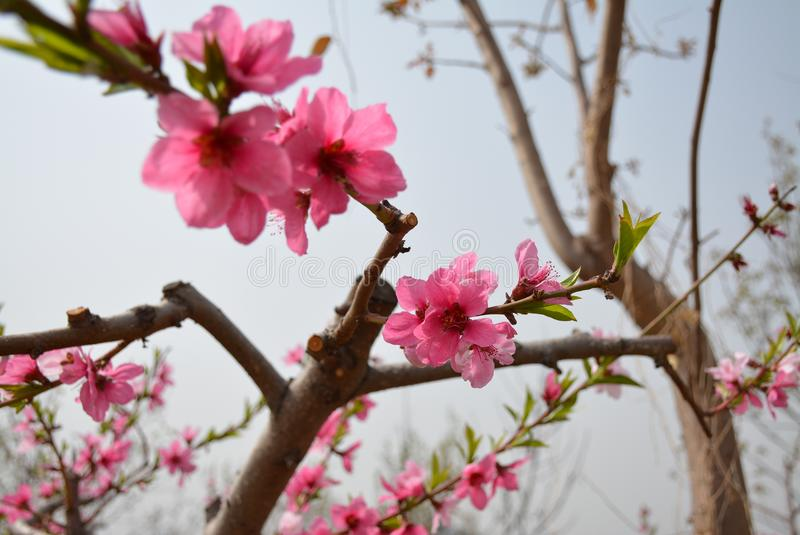 Perzikbloesems in Peking in de Lente stock fotografie