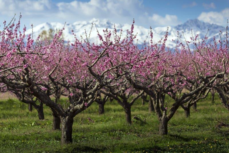 Perzikboom stock afbeeldingen
