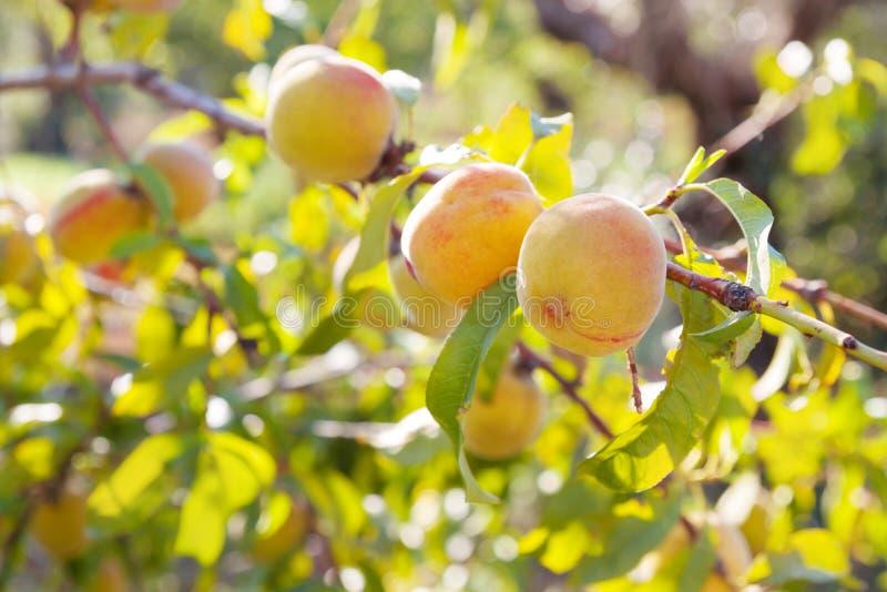 Perzikboom met oogst in Italië royalty-vrije stock afbeelding