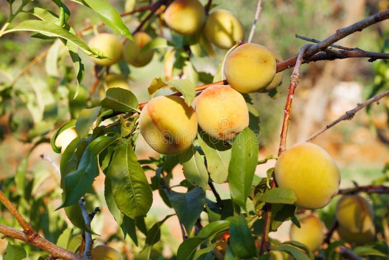 Perzikboom met oogst in Italië stock foto