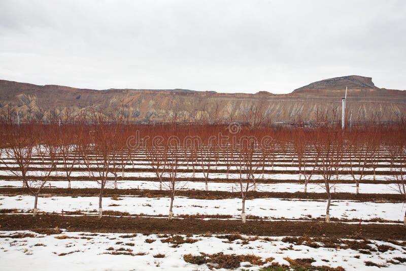 Perzikboom tijdens de winter stock foto