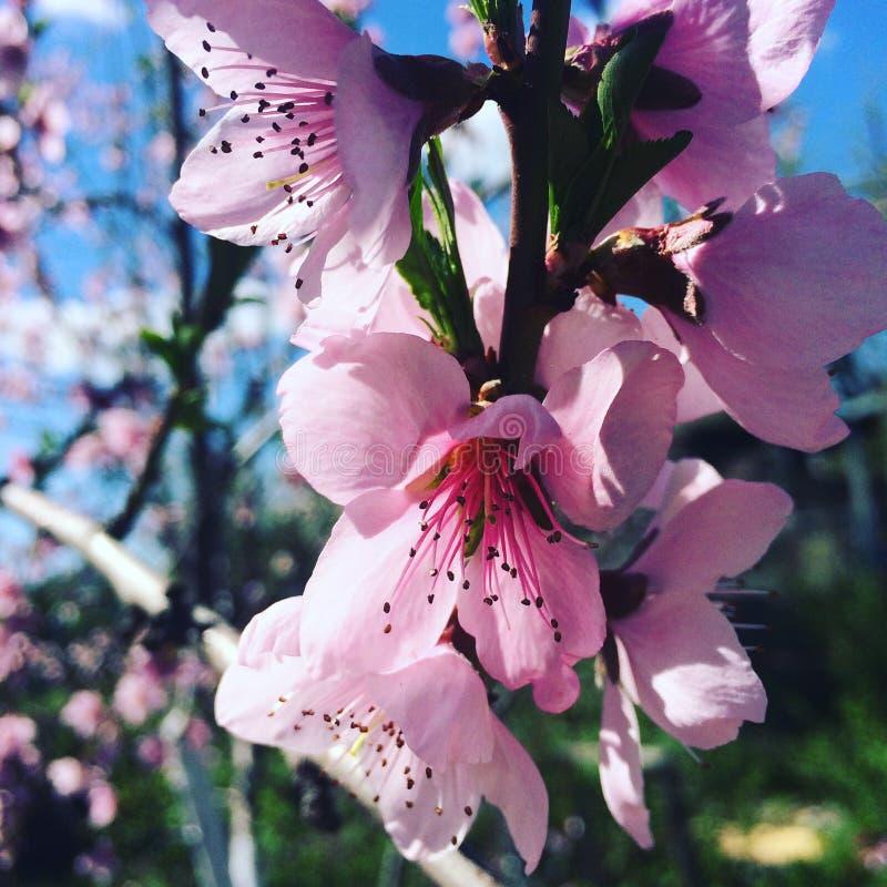 Perzikboombloesems in de lente royalty-vrije stock afbeelding