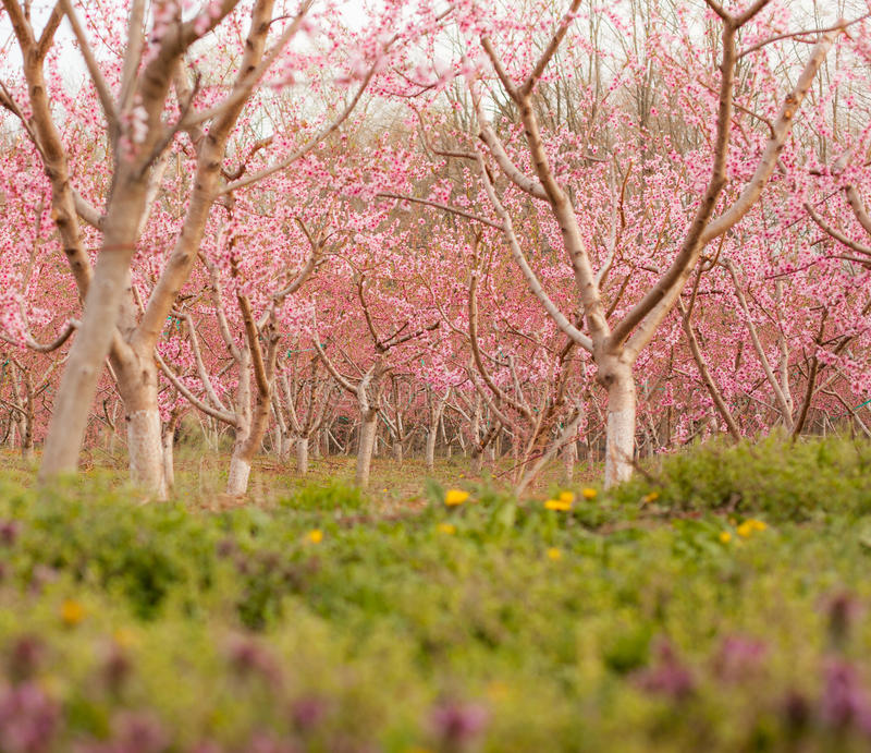 Perzikboomgaard in Bloei stock afbeelding