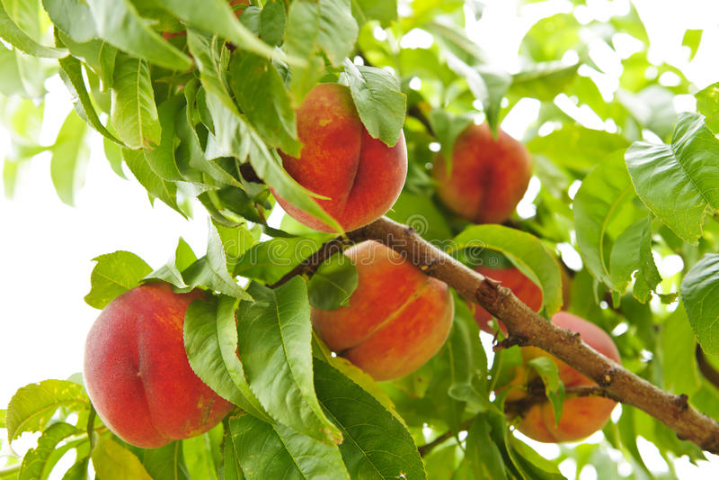 Perziken op boom stock foto