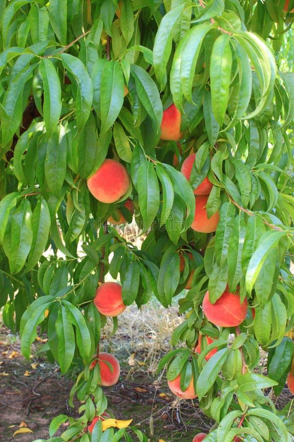 Perziken op een boomtak royalty-vrije stock foto