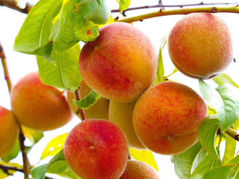 Perzikfruit stock afbeelding