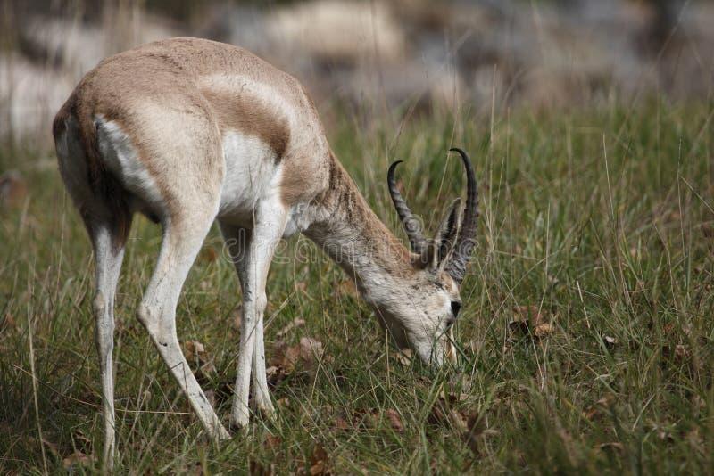 Perzische gazelle stock afbeelding