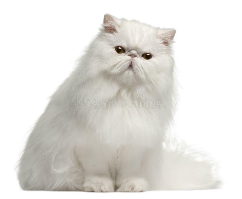 Perzische kat, 8 maanden oud, het zitten royalty-vrije stock fotografie