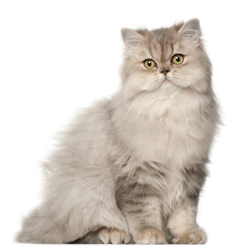 Perzische kat, die voor witte achtergrond zit royalty-vrije stock afbeelding
