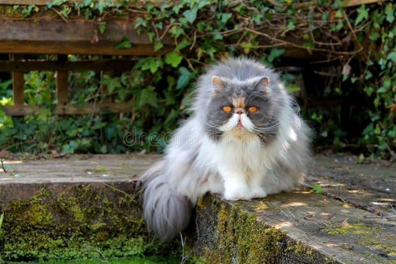 Perzische kat door Vijver royalty-vrije stock afbeeldingen