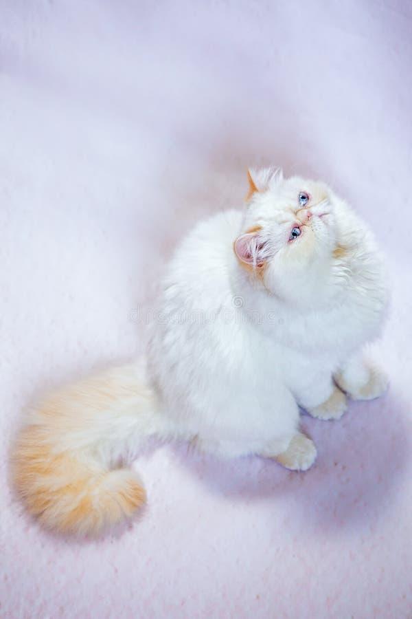 Perzische kat een lichte achtergrond royalty-vrije stock afbeeldingen